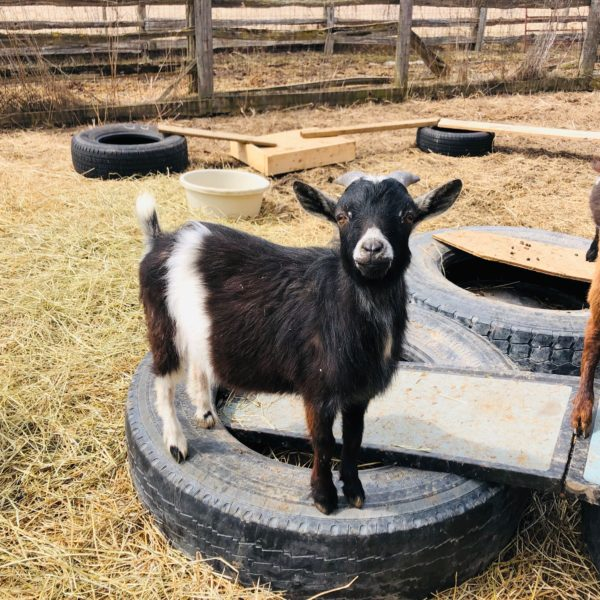 Fieldstone the goat, standing on a tire.